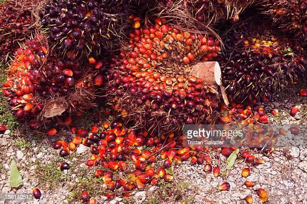 Oil palm fruit bunch
