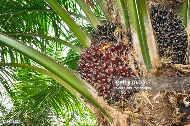 Oil Palm Fruit in the Tree.