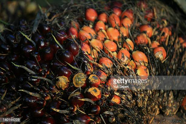 Oil palm fruits on the oil palm plantations on February 28, 2012 in Bintan Island, Indonesia. Indonesian palm oil producers have been hit by the...