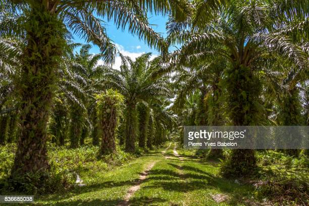 oil palm plantation - lush stock pictures, royalty-free photos & images
