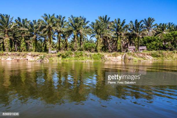 oil palm plantation - pierre yves babelon stock pictures, royalty-free photos & images
