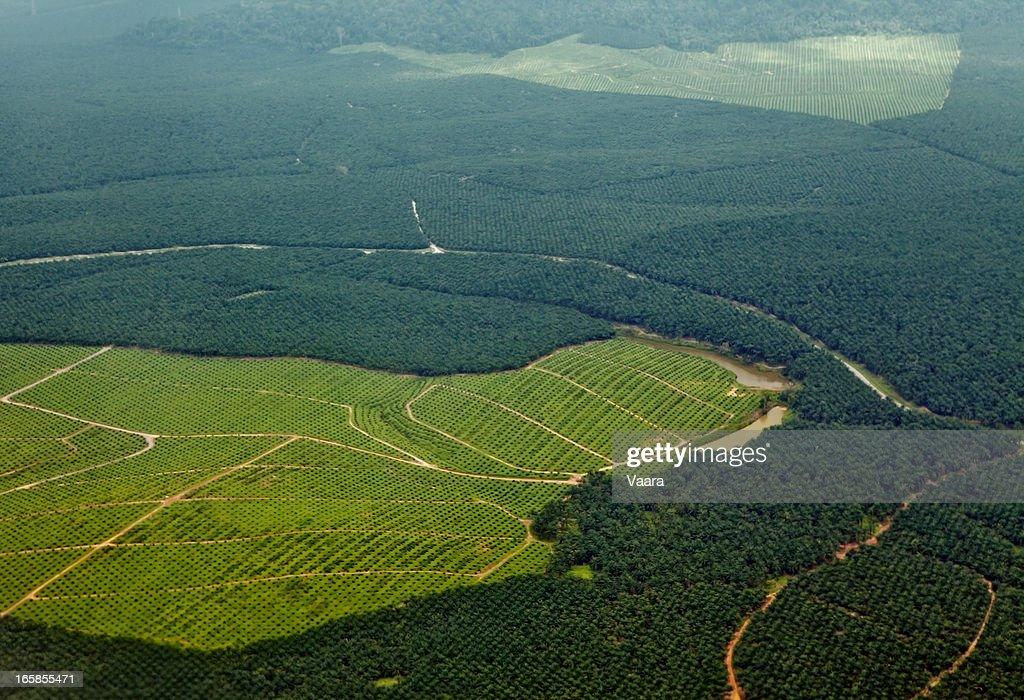 Oil Palm Plantations : Stock Photo