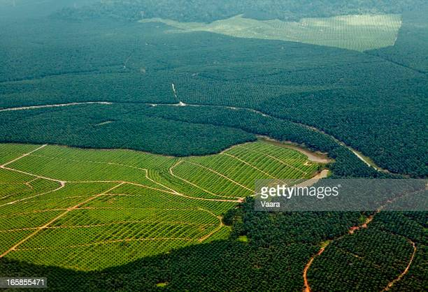 oil palm plantations - deforestation stock pictures, royalty-free photos & images