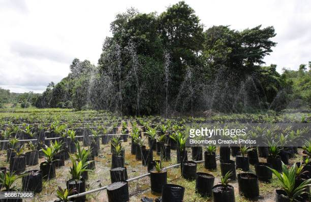 oil palm saplings - west kalimantan stock pictures, royalty-free photos & images