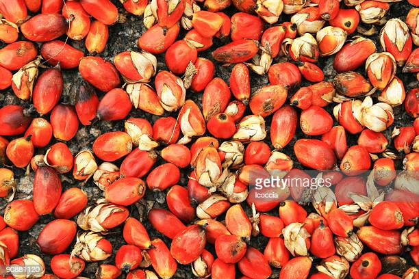 Oil Palm Seeds