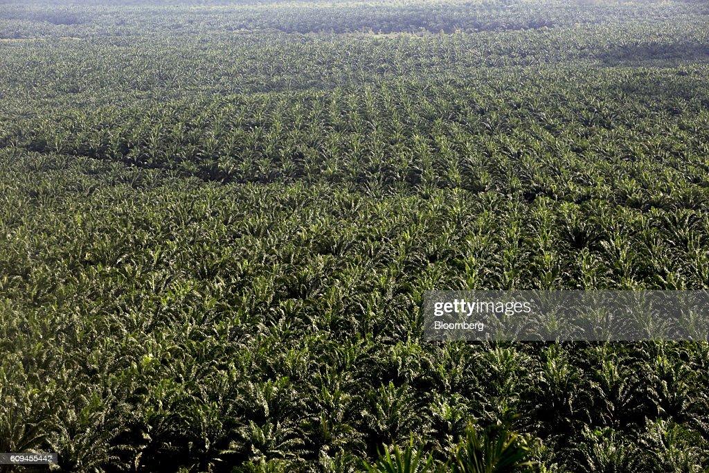 Operations At The MRICOP Palm Plantation : News Photo