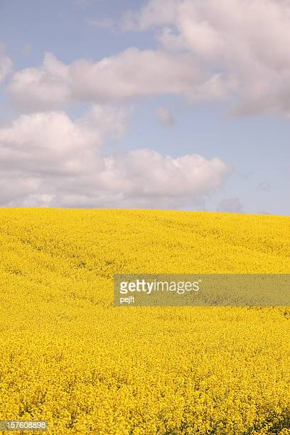Oil seed rape yellow field in the spring