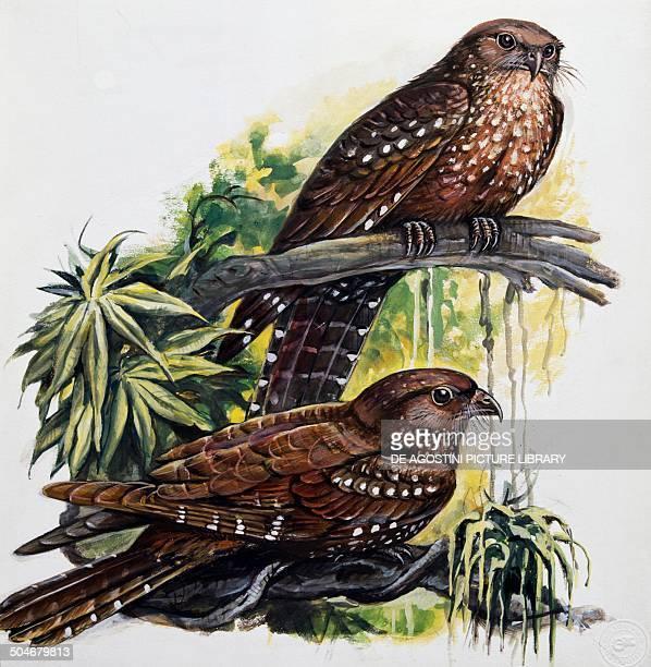 Oilbird Steatornithidae drawing