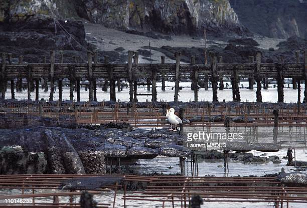 Oil-covered oyster beds due to the sinking of the Amoco Cadiz in Portsall, France in March, 1978.