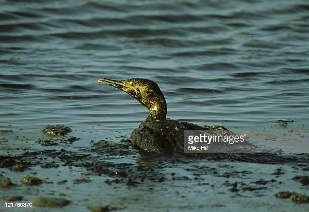 oiled cormorant, phalacrocorax nigrogularis, bahrain, arabian gulf     - ugly bird stock pictures, royalty-free photos & images