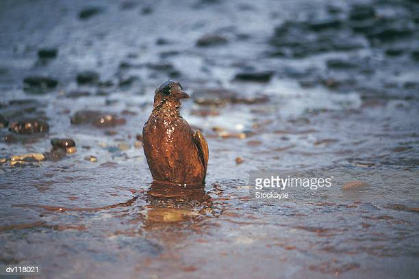 oiled guillimot after empress oil spill,west wales - zeevogel stockfoto's en -beelden