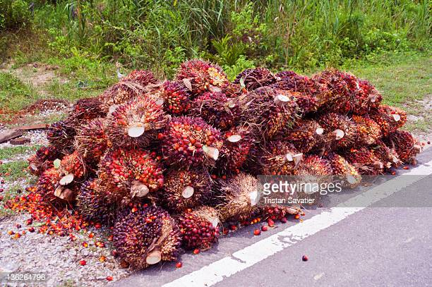 Oil-palm fruits in bunches