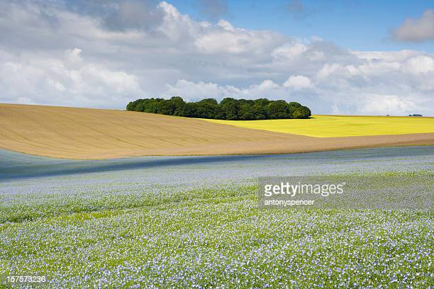 Graines oléagineuses lin, Wiltshire U. K