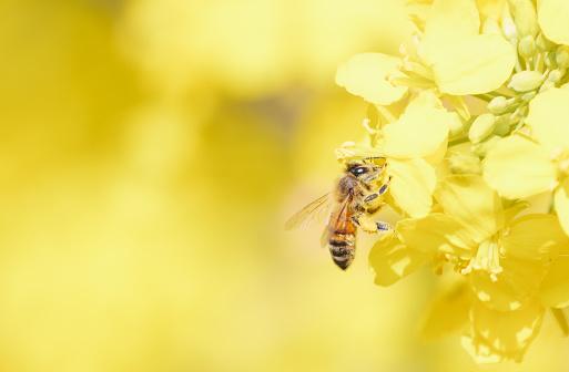 oilseed flower and bee - gettyimageskorea