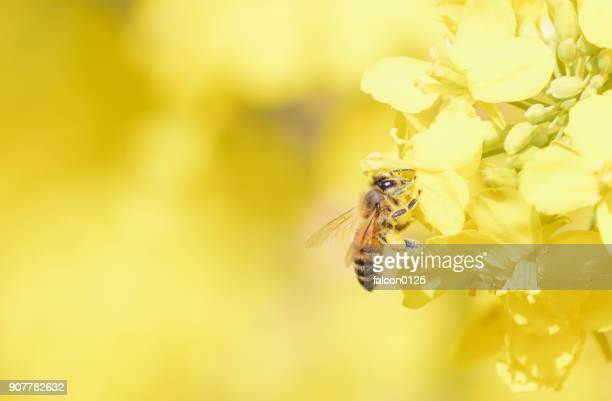 oilseed flower and bee