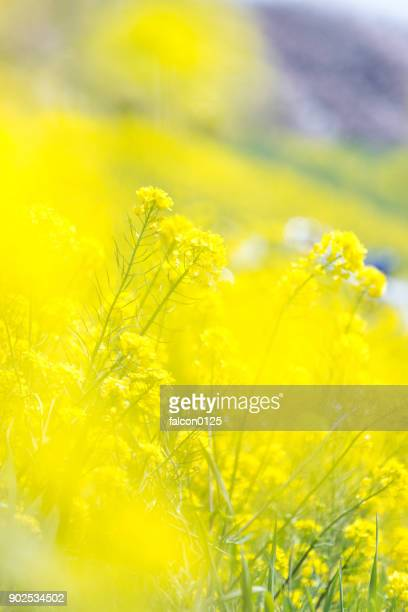 oilseed flower - brassica stock photos and pictures