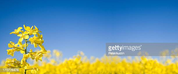 Oilseed Panoramablick (XL