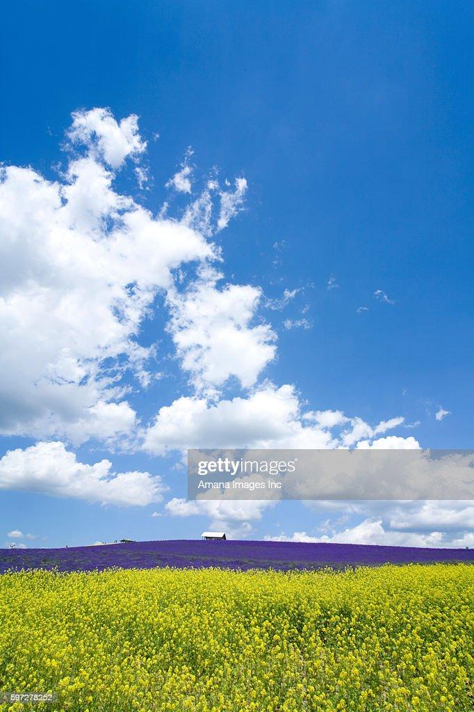 Oilseed rape and lavender field : ストックフォト
