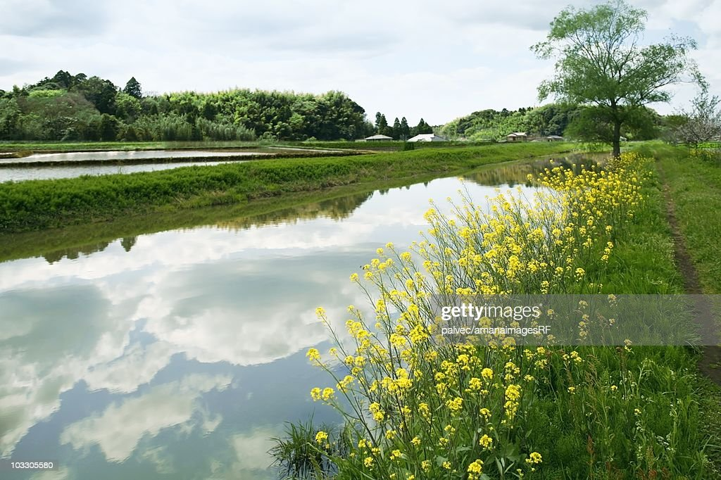 Oilseed rape blossoms growing beside a tranquil stream. Chiba Prefecture, Japan : ストックフォト