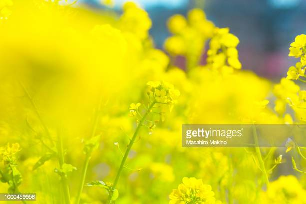 oilseed rape blossoms - brassica stock photos and pictures