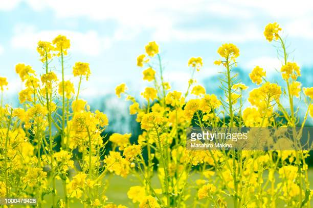 oilseed rape blossoms - oilseed rape stock pictures, royalty-free photos & images