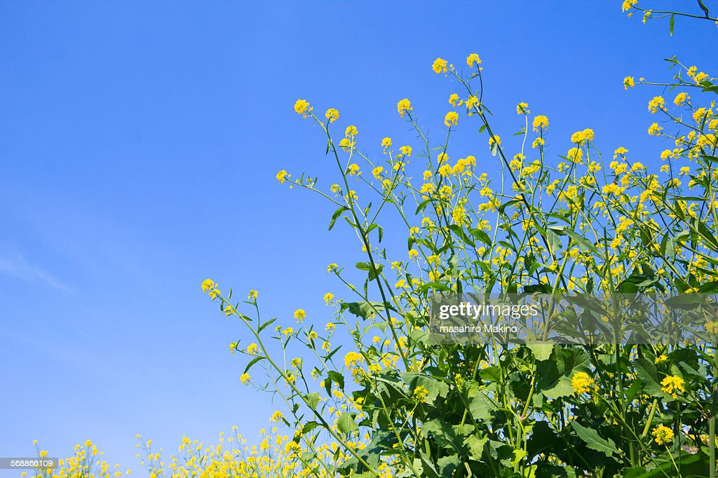 Oilseed rape blossoms : Stock Photo