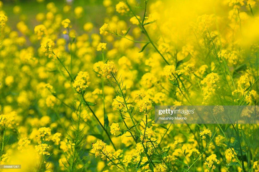 Oilseed Rape Blossoms : Stock Photo