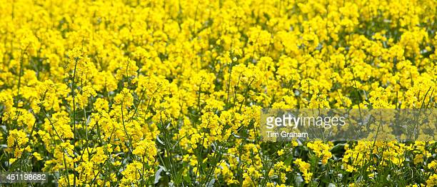 Oilseed rape crop Brassica napus in landscape at Swinbrook in the Cotswolds Oxfordshire UK