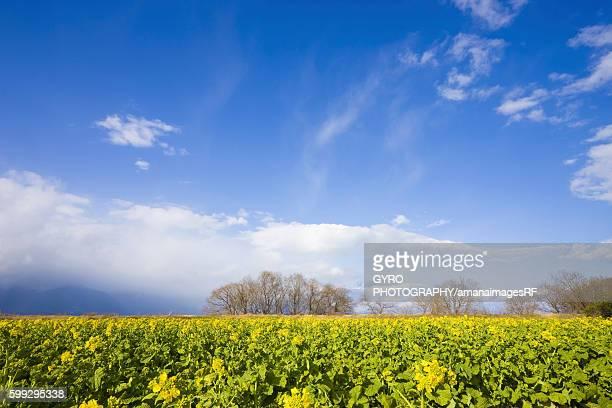 Oilseed rape crop, Moriyama, Shiga Prefecture, Japan