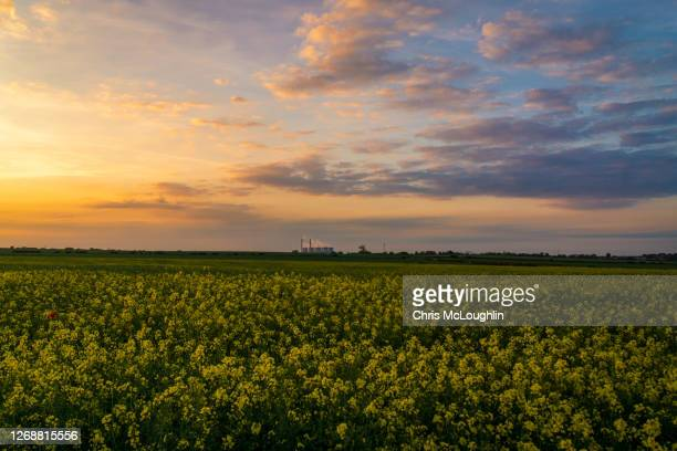 oilseed rape crop - dusk stock pictures, royalty-free photos & images