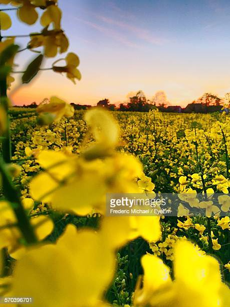 Oilseed Rape Field Against Sky During Sunset