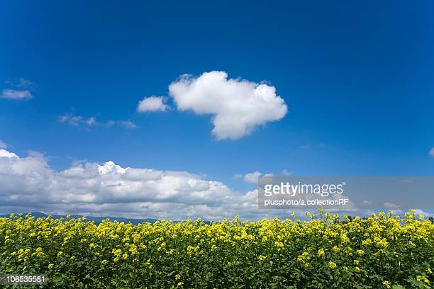 Oilseed Rape field, Hokkaido Prefecture, Japan