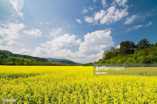 Oilseed Rape Field in Spring