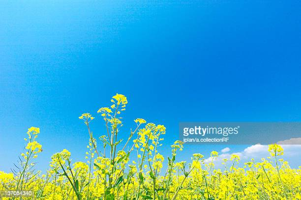 oilseed rape field, kanagawa prefecture, honshu, japan - brassica stock photos and pictures