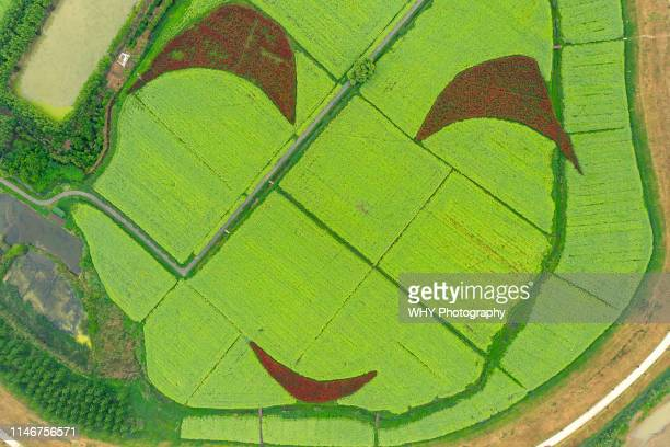 oilseed rape field - photosynthesis stock pictures, royalty-free photos & images