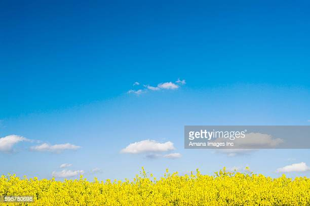 oilseed rape field - brassica stock photos and pictures