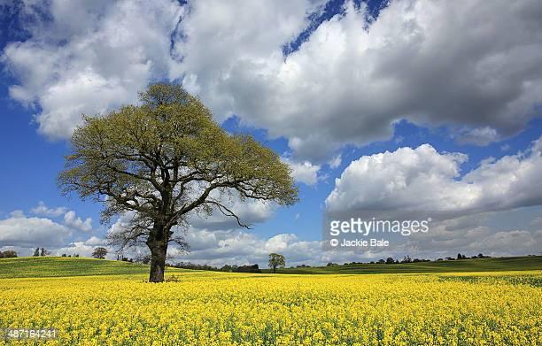 oilseed rape fields in england - チェルムスフォード ストックフォトと画像
