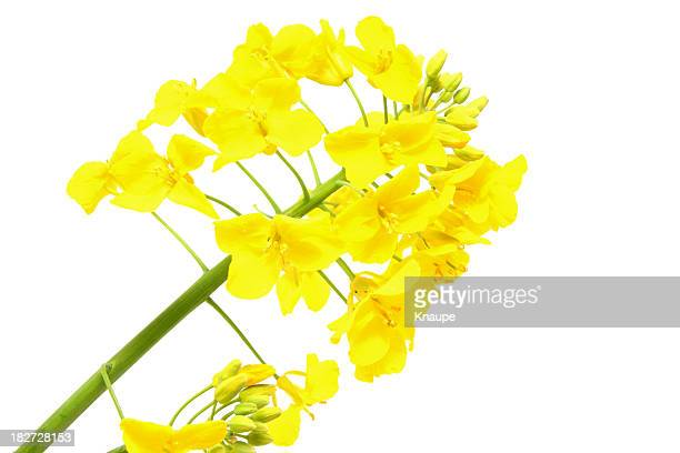 Oilseed Rape Flower Head on White Background