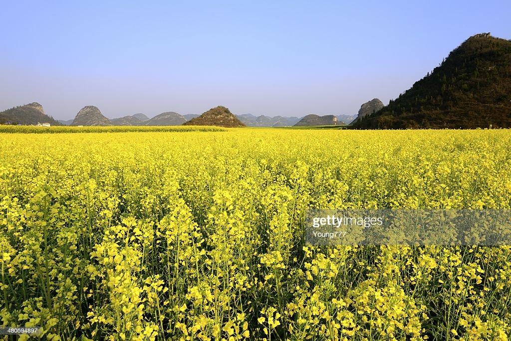 Oilseed rape growing in the fields : Stock Photo