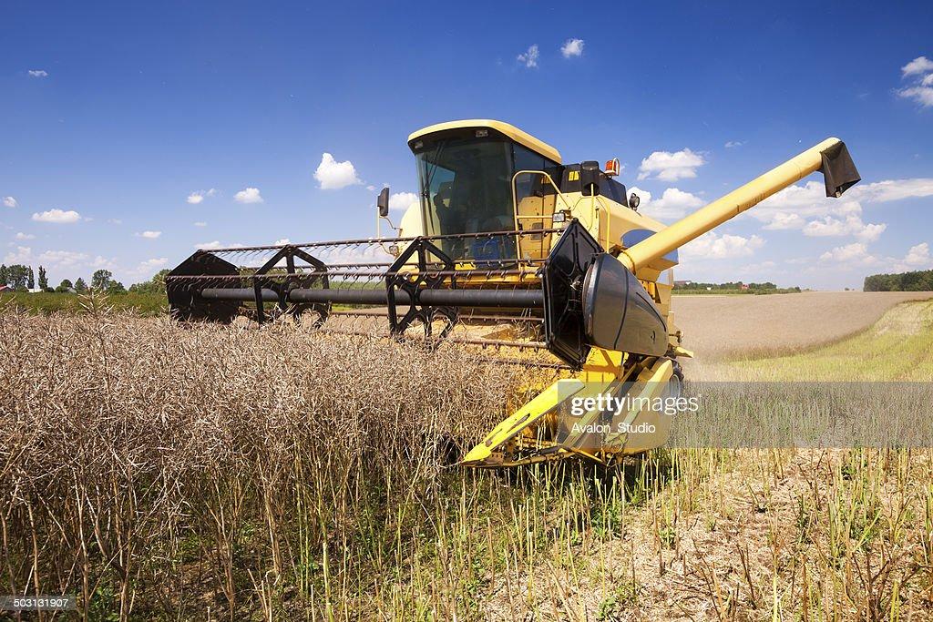 Oilseed rape harvest : Stock Photo