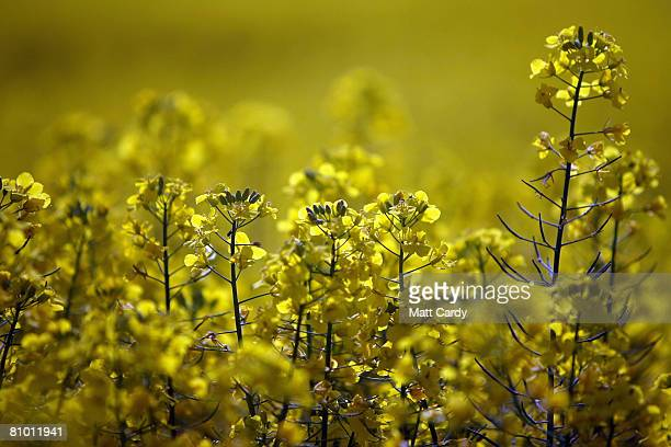 Oilseed Rape plants blossom in a field on May 6 2008 near Bath England Oilseed rape or rapeseed has become one of the most popular crops grown by...