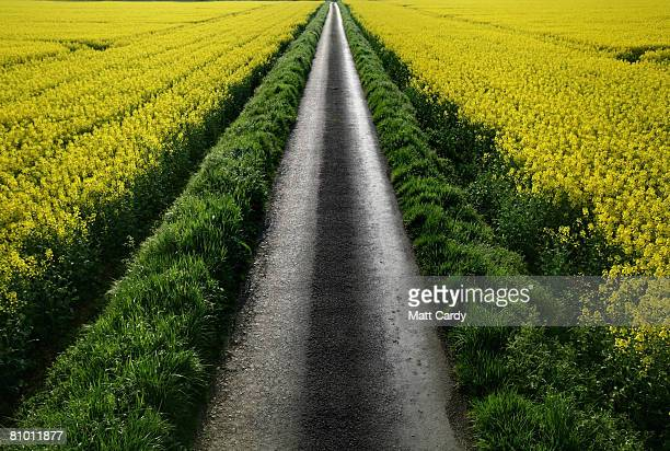 Oilseed Rape plants blossom in fields in the Cotswolds village of Tormarton on May 6 2008 near Tetbury in Gloucestershire England Oilseed rape or...
