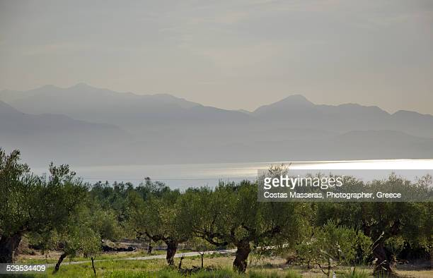 oiltrees - kalamata olive stock pictures, royalty-free photos & images