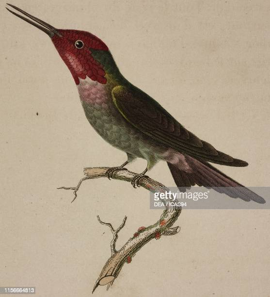 Oiseau-mouche Anna , Anna's Hummingbird, colored engraving, Plate 74, from Histoire naturelle des oiseaux-mouches , edited by Rene Primevere Lesson...