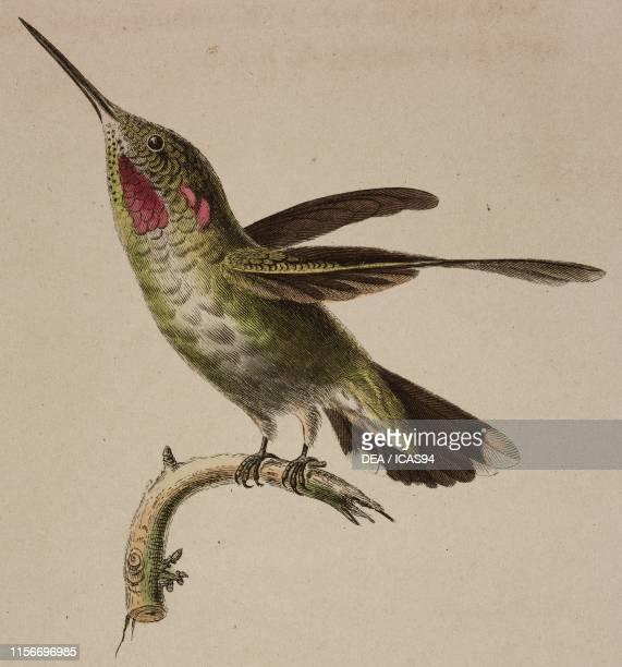 Oiseau-mouche Anna , Anna's Hummingbird, young, colored engraving, from Histoire naturelle des colibris suivie d'un supplement a l'histoire naturelle...