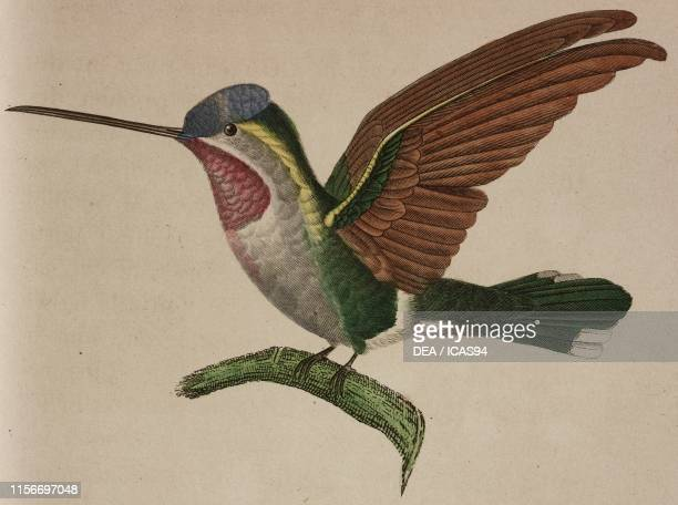 Oiseau-mouche Corinne , Long-billed starthroat, colored engraving by Coutant after an illustration by Zoe Dumont, from Histoire naturelle des...