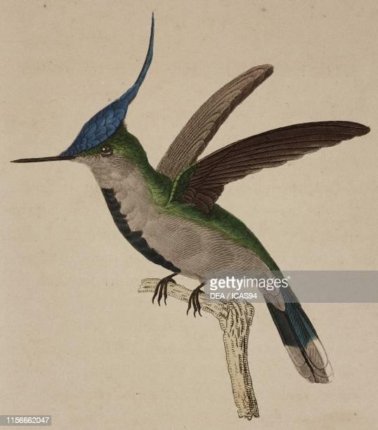 Oiseau-mouche de Loddiges , colored engraving by Oudet after an illustration by Pretre, Plate 51, from Les trochilidees ou les colibris et les...