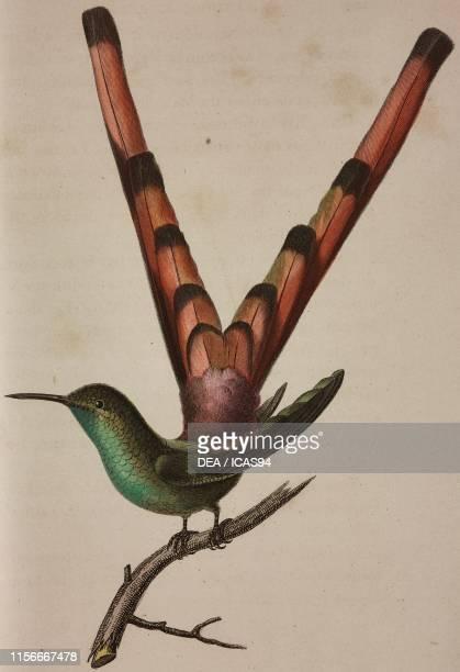 Oiseau-mouche Sapho , colored engraving, from Histoire naturelle des oiseaux-mouches , edited by Rene Primevere Lesson Paris.
