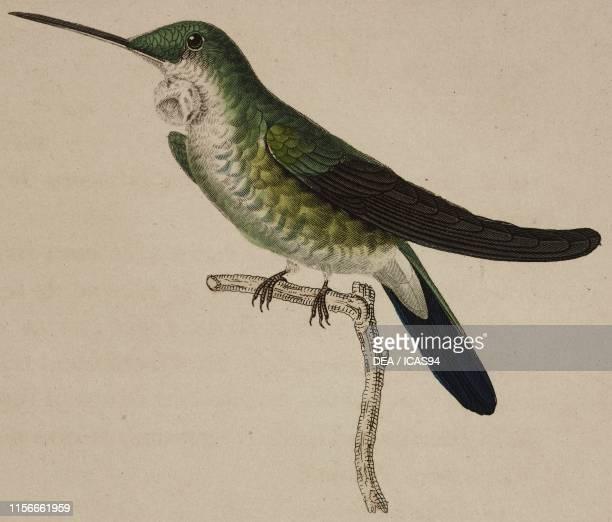 Oiseaumouche tout vert with goiter colored engraving by Oudet after an illustration by Pretre Plate 7 from Les trochilidees ou les colibris et les...