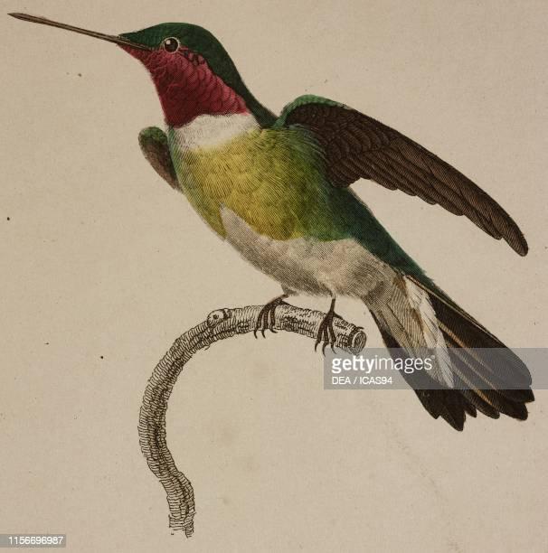 Oiseau-mouche tricolore , colored engraving, from Histoire naturelle des colibris suivie d'un supplement a l'histoire naturelle des oiseaux-mouches ,...